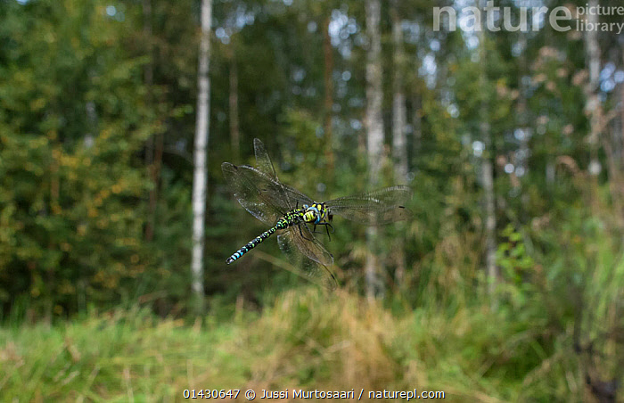 Southern Hawker (Aeshna cyanea) territorial fighting in mid air, Finland, August, ACTION,AGGRESSION,ARTHROPODS,BEHAVIOUR,DRAGONFLIES,EUROPE,FINLAND,FLYING,FORESTS,INSECTS,INVERTEBRATES,MALES,ODONATA,SCANDINAVIA,TERRITORIAL,TREES,PLANTS, Jussi Murtosaari