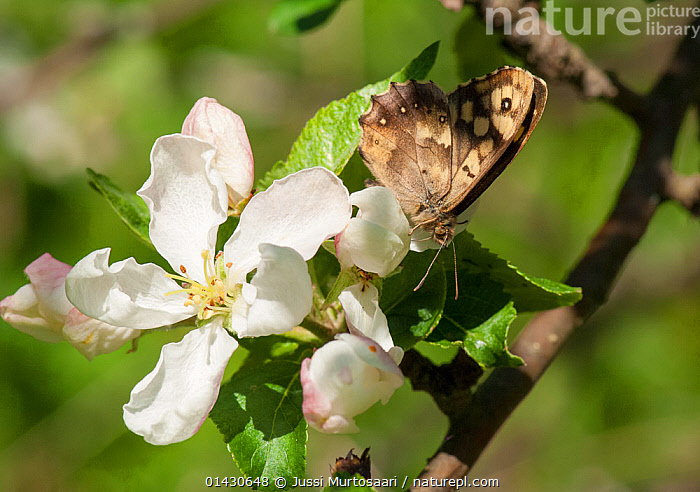 Speckled Wood Butterfly (Pararge aegeria) eating on apple tree, Finland, June, ARTHROPODS,BUTTERFLIES,EUROPE,FEEDING,FINLAND,INSECTS,INVERTEBRATES,LEPIDOPTERA,SCANDINAVIA, Jussi Murtosaari