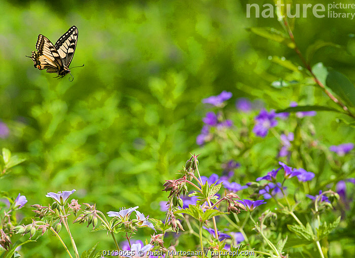 Swallowtail (Papilio machaon) in flight, Finland, Europe, BUTTERFLIES,EUROPE,Finland,FLOWERS,FLYING,INSECTS,INVERTEBRATES,LEPIDOPTERA,SCANDINAVIA,SWALLOWTAIL-BUTTERFLIES high1314,PAPILIO MACHAON,Animal,Arthropod,Insect,Swallowtail butterfly,Swallowtail,Animalia,Animal,Wildlife,Hexapoda,Arthropod,Invertebrate,Hexapod,Arthropoda,Insecta,Insect,Lepidoptera,Lepidopterans,Papilionidae,Swallowtail butterfly,Papilionid,Butterfly,Papilio,Papilio machaon,Swallowtail,Old world swallowtail,Common yellow swallowtail,Papilio hollandii,Papilio hippocrates,Papilio bairdii,Flying,Focus,Direction,Colour,Purple,Yellow,Nobody,Pattern,Patterned,Patterns,Europe,Northern Europe,North Europe,Nordic Countries,Finland,Camera Focus,Selective Focus,Focus On Foreground,Focus On Foregrounds,Rural Scene,Countryside scene,Outdoors,Open Air,Outside,Day,Nature,Natural,Natural World,Wild,Flight,Shallow depth of field,Low depth of field,Animal marking,Purpose,Focused,Yellow Colour, Jussi  Murtosaari