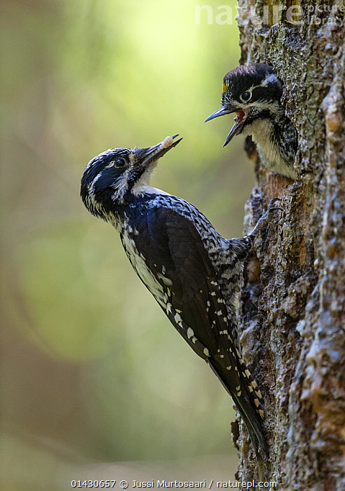 Three-toed Woodpecker (Picoides tridactylus) male feeding chick, Finland, June, BIRDS,CHICKS,EUROPE,FEEDING,FINLAND,MALES,SCANDINAVIA,VERTEBRATES,WOODPECKERS,YOUNG, Jussi Murtosaari