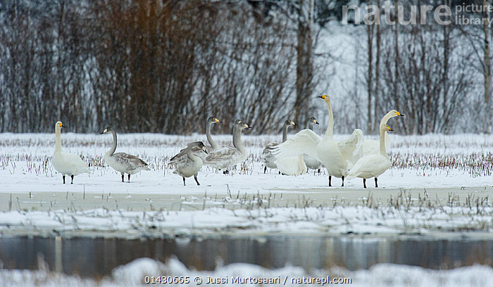 Whooper Swan (Cygnus cygnus) adults and juveniles on the edge of a frozen lake, Finland, January, ANATIDAE,BIRDS,COLD,EUROPE,FINLAND,FLOCKS,FROZEN,GROUPS,ICE,JUVENILES,LAKES,SCANDINAVIA,SWANS,VERTEBRATES,WATER,WATERFOWL,Wildfowl, Jussi Murtosaari