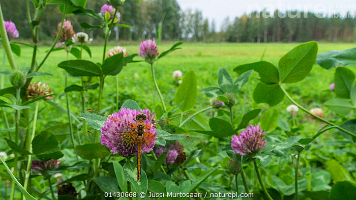 Yellow-winged Darter (Sympetrum flaveolum) female on red clover, Finland, September, ARTHROPODS,CLOVER,DRAGONFLIES,EUROPE,FEMALES,FINLAND,FLOWERS,INSECTS,INVERTEBRATES,ODONATA,PINK,SCANDINAVIA, Jussi Murtosaari