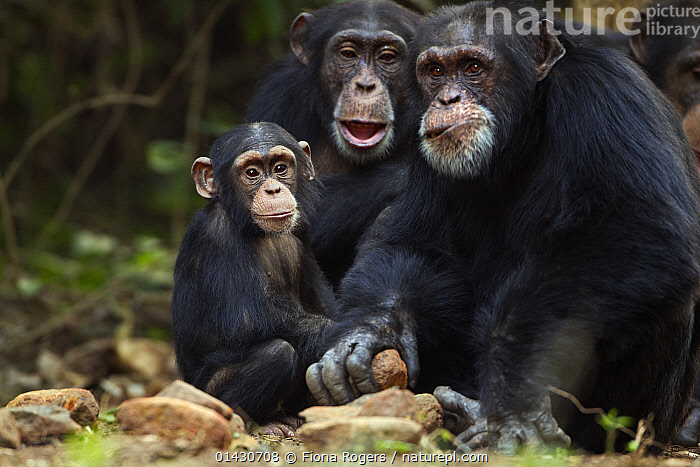 Alpha male Western chimpanzee (Pan troglodytes verus) 'Foaf', aged 30 years, cracking open oil palm nuts on stones, with female 'Fanle', aged 13 years, and infant aged 3 years, Bossou Forest, Mont Nimba Strict Nature Reserve, Guinea, 2011., Apes,BEHAVIOUR,chimpanzees,Chimps,ENDANGERED,EXPRESSIONS,FAMILIES,FEMALES,GROUPS,JUVENILE,MALES,NP,PORTRAITS,PRIMATES,RESERVE,THREE,TOOL USING,National Park,Mammals, Fiona Rogers