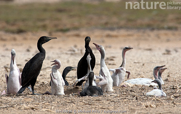 Socotra Cormorant (Phalacrocorax nigrogularis) Adults and fledglings in colony. Saudi Arabia - Arabian Gulf., ARABIA,ASIA,BABIES,BIRDS,CHICKS,COLONIES,COLONY,CORMORANTS,FLOCKS,GROUPS,MIDDLE EAST,SAUDI ARABIA,SEABIRDS,VERTEBRATES,WESTERN ASIA,YOUNG, Michael Pitts
