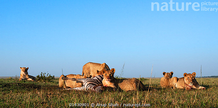 Lion (Panthera leo) pride feeding on a zebra kill. Masai Mara National Reserve, Kenya, August  ,  AFRICA,BIG CATS,CARNIVORES,EAST AFRICA,FEEDING,FELIDAE,GROUPS,KENYA,LIONS,MAASAI MARA,MAMMALS,MASAAI MARA,MASAI MARA,PREDATION,RESERVE,SAVANNA,VERTEBRATES,ZEBRAS,Behaviour,Grassland  ,  Anup Shah
