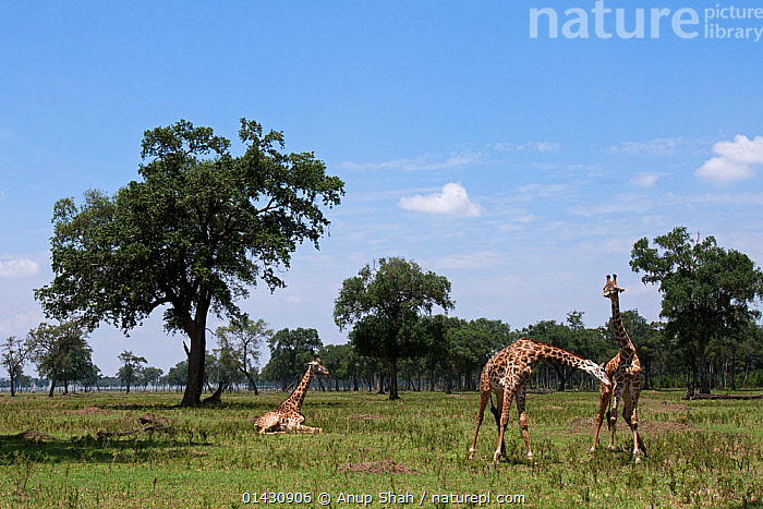 Masai giraffe (Giraffa camelopardalis tippelskirchi)  males necking, watched by another resting Masai Mara National Reserve, Kenya. August, AFRICA,AGGRESSION,ARTIODACTYLA,BEHAVIOUR,EAST AFRICA,FIGHTING,GIRAFFES,GIRAFFIDAE,GROUPS,HABITAT,KENYA,LANDSCAPES,MAASAI MARA,MALES,MAMMALS,MASAAI MARA,MASAI MARA,RESERVE,SAVANNA,SOUTHERN GIRAFFE,TREES,VERTEBRATES,Grassland,PLANTS, Anup Shah