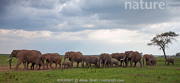 African elelphant (Loxodonta africana) herd on the move(Loxodonta africana). Masai Mara National Reserve, Kenya. August, AFRICA,CLOUDS,EAST AFRICA,ELEPHANTS,ENDANGERED,GROUPS,HABITAT,HERDS,KENYA,MAASAI MARA,MAMMALS,MASAAI MARA,MASAI MARA,PANORAMIC,PROBOSCIDS,RESERVE,SAVANNA,VERTEBRATES,VULNERABLE,WALKING,Weather,Grassland, Anup Shah