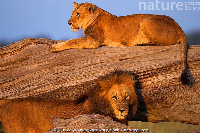 Lioness (Panthera leo) resting on a fallen tree with a courting male. Masai Mara National Reserve, Kenya, July, AFRICA,BIG CATS,CARNIVORES,COURTSHIP,EAST AFRICA,felidae,FEMALES,Kenya,LIONS,maasai mara,MALE FEMALE PAIR,MALES,MAMMALS,Masaai Mara,Masai Mara,RESERVE,VERTEBRATES,catalogue6,PANTHERA LEO,Animal,Vertebrate,Mammal,Carnivore,Cat,Big cat,Lion,Animalia,Animal,Wildlife,Vertebrate,Chordate,Mammalia,Mammal,Carnivora,Carnivore,Felidae,Cat,Panthera,Big cat,Panthera leo,Resting,Rest,Courting,Boredom,Contrasts,Opposites,Direction,Two,No One,Nobody,Africa,East Africa,Kenya,Side View,Female animal,Lioness,Lionesses,Male Animal,Plant,Tree,Fallen Tree,Outdoors,Open Air,Outside,Day,Animal Behaviour,Mating Behaviour,Courtship,Lion,Behaviour,Two animals,Direct Gaze,Displeasure, Anup Shah,Anup Shah
