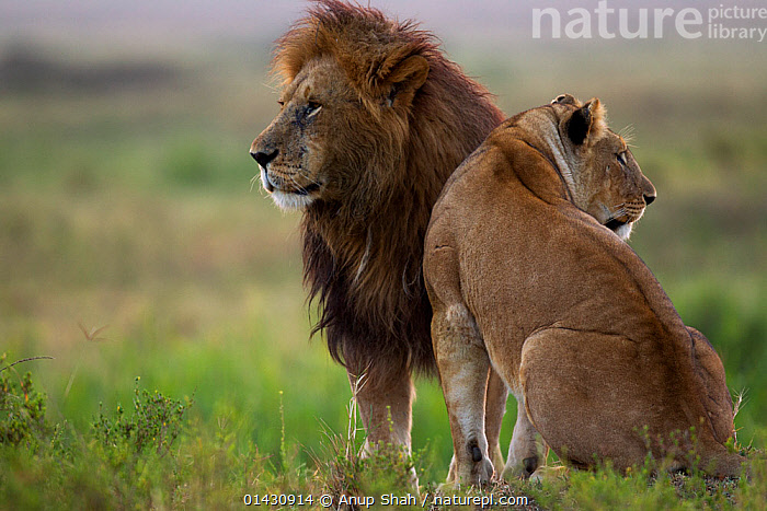 Lion (Panthera leo) male and lioness standing together. Masai Mara National Reserve, Kenya, July, AFRICA,BIG CATS,CARNIVORES,COURTSHIP,EAST AFRICA,FELIDAE,FEMALES,KENYA,LIONS,MAASAI MARA,MALE FEMALE PAIR,MALES,MAMMALS,MASAAI MARA,MASAI MARA,RESERVE,VERTEBRATES, Anup Shah