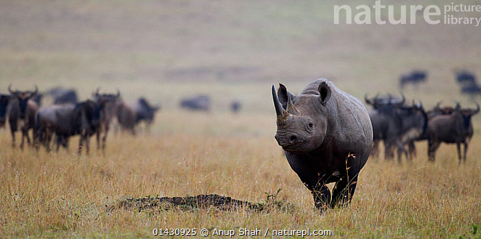 Black rhinoceros (Diceros bicornis) walking in front of a herd of Eastern White-bearded wildebeest (Connochaetes taurinus). Masai Mara National Reserve, Kenya, July  ,  AFRICA,CRITICALLY ENDANGERED,EAST AFRICA,ENDANGERED,GROUPS,HERDS,KENYA,MAASAI MARA,MAMMALS,MASAAI MARA,MASAI MARA,PERISSODACTYLA,RESERVE,RHINO,RHINOCEROSES,RHINOCEROTIDAE,SAVANNA,VERTEBRATES,Grassland , rhino, rhinoceros, rhinos,  ,  Anup Shah