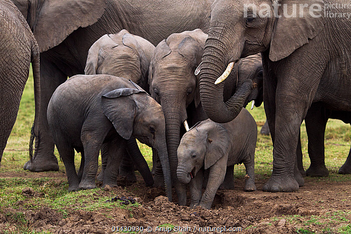 Young African elelphants (Loxodonta africana) in herd at a waterhole. Masai Mara National Reserve, Kenya, July, AFRICA,BABIES,EAST-AFRICA,ELEPHANTS,ENDANGERED,GROUPS,Herds,Kenya,maasai mara,MAMMALS,Masaai Mara,Masai Mara,PROBOSCIDS,RESERVE,VERTEBRATES,Vulnerable,YOUNG high1314,LOXODONTA AFRICANA,Animal,Vertebrate,Mammal,Elephant,African elephants,African elephant,Animalia,Animal,Wildlife,Vertebrate,Mammalia,Mammal,Proboscidea,Elephantidae,Elephant,Loxodonta,African elephants,Loxodonta africana,African elephant,Contrasts,Thirsty,Thirst,Togetherness,Close,Together,Herds,Group,Nobody,Size,Africa,East Africa,Kenya,Young Animal,Juvenile,Water Hole,Water Holes,Outdoors,Open Air,Outside,Day,Nature,Natural,Natural World,Wild,Freshwater,Water,Drinking,Reserve,Family,Maasai Mara,Protected area,Discovery,National Reserve,Endangered species,threatened,Endangered, Anup Shah