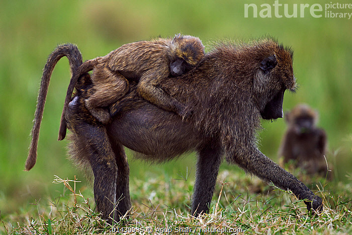 Olive baboon (Papio cynocephalus anubis) female carrying an infant on her back foraging. Masai Mara National Reserve, Kenya, July, AFRICA,BABIES,BABOONS,CARRYING,CERCOPITHECIDAE,EAST AFRICA,FEMALES,KENYA,MAASAI MARA,MAMMALS,MASAAI MARA,MASAI MARA,MONKEYS,MOTHER BABY,PARENTAL,PRIMATES,RESERVE,VERTEBRATES,YOUNG, Anup Shah