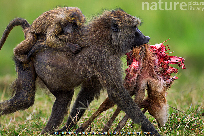 Olive baboon (Papio cynocephalus anubis) female with infant on back,  carrying away a gazelle carcass having taken it from a male. Masai Mara National Reserve, Kenya, July  ,  AFRICA,BABIES,BABOONS,Cercopithecidae,EAST AFRICA,FEEDING,FEMALES,Kenya,maasai mara,MALES,MAMMALS,Masaai Mara,Masai Mara,meat,MONKEYS,MOTHER BABY,PARENTAL,PRIMATES,RESERVE,SCAVENGING,VERTEBRATES,YOUNG,catalogue6,PAPIO ANUBIS,Animal,Vertebrate,Mammal,Monkey,Baboon,Olive Baboon,Bovid,Gazelle,Antelope,Animalia,Animal,Wildlife,Vertebrate,Chordate,Mammalia,Mammal,Primate,Primates,Cercopithecidae,Monkey,Old World Monkeys,Papio,Baboon,Papionini,Papio anubis,Olive Baboon,Anubis Baboon,Papio choras,Papio doguera,Papio furax,Artiodactyla,Even toed ungulates,Bovidae,Bovid,ruminantia,Ruminant,Gazella,Gazelle,Few,Three,Group,No One,Nobody,Side View,Female animal,Outdoors,Open Air,Outside,Day,Animal Behaviour,Predation,Hunting,Behaviour,Antelope,Food chain,Three Animals,Carrying on back,Holding in mouth,Gory  ,  Anup Shah,Anup Shah