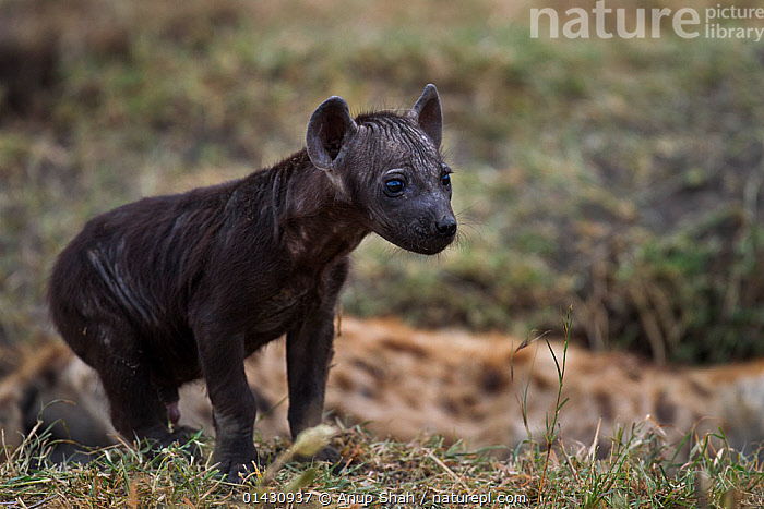 Spotted hyena (Crocuta crocuta) pup aged 2-3 months. Masai Mara National Reserve, Kenya, July, AFRICA,BABIES,CARNIVORES,EAST AFRICA,HYAENAS,HYAENIDAE,KENYA,MAASAI MARA,MAMMALS,MASAAI MARA,MASAI MARA,PORTRAITS,PUPS,RESERVE,VERTEBRATES,YOUNG, Anup Shah