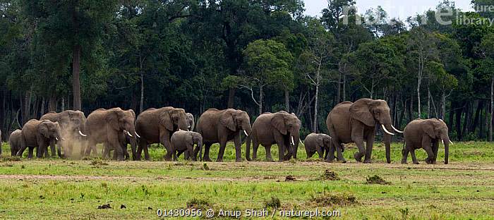 African elelphant (Loxodonta africana) herd on the move. Masai Mara National Reserve, Kenya, July, AFRICA,EAST AFRICA,ELEPHANTS,ENDANGERED,GROUPS,HABITAT,HERDS,KENYA,MAASAI MARA,MAMMALS,MASAAI MARA,MASAI MARA,PROBOSCIDS,RESERVE,SAVANNA,VERTEBRATES,VULNERABLE,WOODLANDS,Grassland, Anup Shah