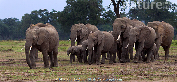 African elelphant (Loxodonta africana) herd on the move. Masai Mara National Reserve, Kenya, July  ,  AFRICA,EAST AFRICA,ELEPHANTS,ENDANGERED,GROUPS,HERDS,KENYA,MAASAI MARA,MAMMALS,MASAAI MARA,MASAI MARA,PANORAMIC,PROBOSCIDS,RESERVE,VERTEBRATES,VULNERABLE,WALKING  ,  Anup Shah