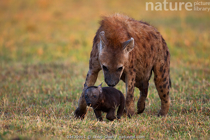 Spotted hyena (Crocuta crocuta) with pup aged 2-3 months. Masai Mara National Reserve, Kenya, July, AFRICA,BABIES,CARNIVORES,EAST AFRICA,HYAENAS,HYAENIDAE,KENYA,MAASAI MARA,MAMMALS,MASAAI MARA,MASAI MARA,PUPS,RESERVE,VERTEBRATES,YOUNG, Anup Shah