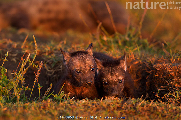 Spotted hyena (Crocuta crocuta) pups aged 2-3 months. Masai Mara National Reserve, Kenya, July, AFRICA,BABIES,CARNIVORES,EAST AFRICA,HYAENAS,HYAENIDAE,KENYA,MAASAI MARA,MAMMALS,MASAAI MARA,MASAI MARA,PUPS,RESERVE,TWO,VERTEBRATES,YOUNG, Anup Shah