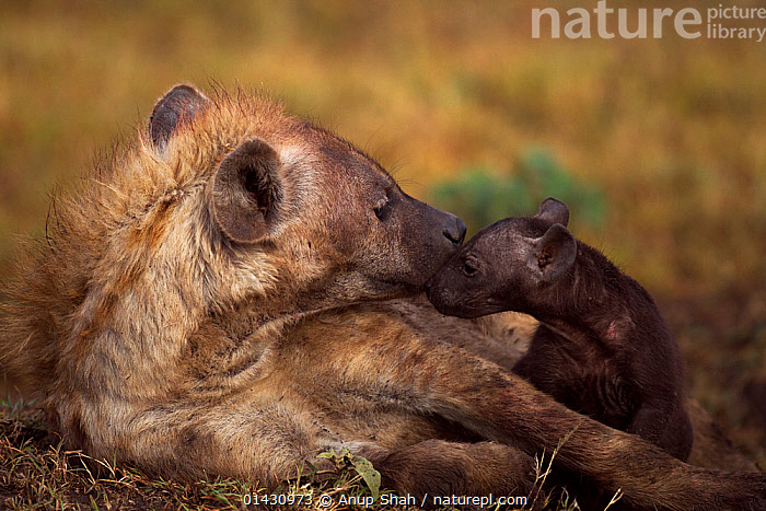 Spotted hyena (Crocuta crocuta) with pup aged 2-3 months. Masai Mara National Reserve, Kenya, July, AFFECTIONATE,AFRICA,BABIES,CARNIVORES,EAST AFRICA,FAMILIES,HYAENAS,HYAENIDAE,KENYA,MAASAI MARA,MAMMALS,MASAAI MARA,MASAI MARA,PUPS,RESERVE,VERTEBRATES,YOUNG, Anup Shah