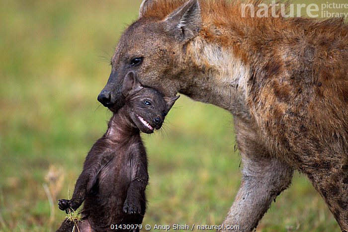 Spotted hyena (Crocuta crocuta) carrying a pup aged 2-3 months in its mouth. Masai Mara National Reserve, Kenya, July  ,  AFRICA,BABIES,BEHAVIOUR,CARNIVORES,CARRYING,EAST AFRICA,HYAENAS,HYAENIDAE,KENYA,MAASAI MARA,MAMMALS,MASAAI MARA,MASAI MARA,PARENTAL,PUPS,RESERVE,VERTEBRATES,YOUNG  ,  Anup Shah