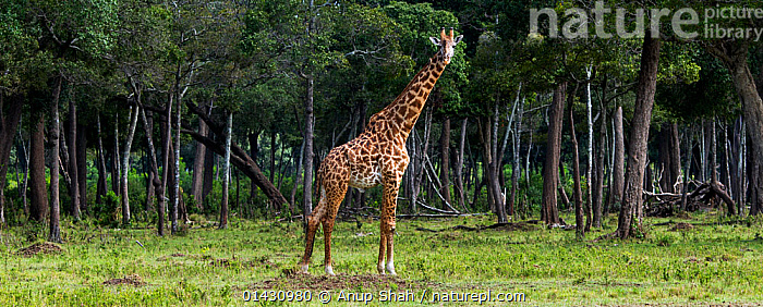 Masai giraffe (Giraffa camelopardalis tippelskirchi)male in front of woodland, Masai Mara National Reserve, Kenya, July, catalogue6,GIRAFFA CAMELOPARDALIS TIPPELSKIRCHI,Animal,Vertebrate,Mammal,Giraffid,Giraffe,Masai Giraffe,Animalia,Animal,Wildlife,Vertebrate,Chordate,Mammalia,Mammal,Artiodactyla,Even toed ungulates,Giraffidae,Giraffid,Ruminant,Giraffa,Giraffe,Giraffa camelopardalis,Standing,Curiosity,In Front Of,No One,Nobody,Africa,East Africa,Kenya,Full Length,Full Lengths,Whole,Panoramic,Side View,Male Animal,Plant,Tree Trunk,Outdoors,Open Air,Outside,Day,Masai Giraffe,Maasai Giraffe, Anup Shah