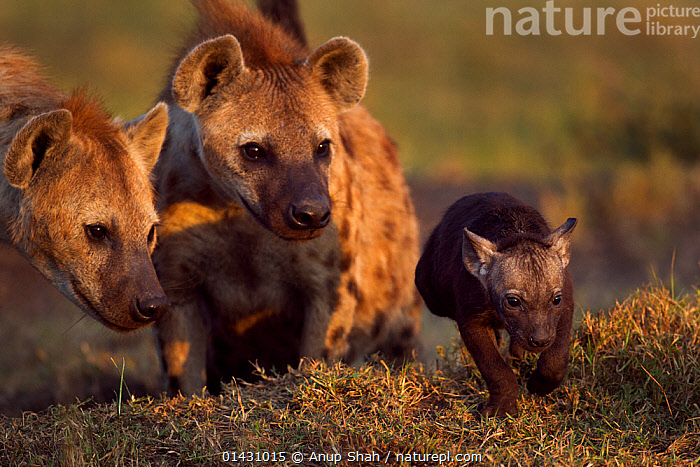 Spotted hyenas (Crocuta crocuta) with a pup aged 2-3 months. Masai Mara National Reserve, Kenya. August, AFRICA,BABIES,CARNIVORES,EAST AFRICA,FAMILIES,GROUPS,HYAENAS,HYAENIDAE,KENYA,MAASAI MARA,MAMMALS,MASAAI MARA,MASAI MARA,PUPS,RESERVE,VERTEBRATES,YOUNG, Anup Shah