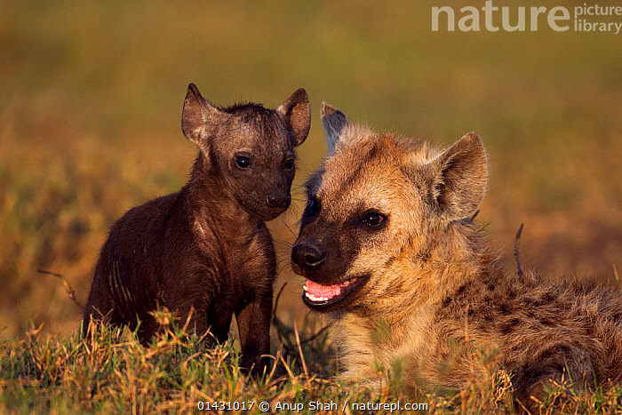 Spotted hyena (Crocuta crocuta) pup aged 6-12 months with younger pup aged 2-3 months. Masai Mara National Reserve, Kenya. August, AFRICA,BABIES,CARNIVORES,EAST AFRICA,FAMILIES,HYAENAS,HYAENIDAE,KENYA,MAASAI MARA,MAMMALS,MASAAI MARA,MASAI MARA,PUPS,RESERVE,VERTEBRATES,YOUNG, Anup Shah