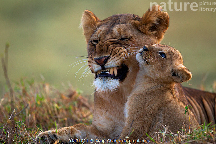 Lioness (Panthera leo) with cub aged 2-3 months portrait. Masai Mara National Reserve, Kenya, August  ,  AFRICA,BABIES,BIG CATS,CARNIVORES,CUBS,EAST AFRICA,EXPRESSIONS,FAMILIES,FELIDAE,FEMALES,KENYA,LIONS,MAASAI MARA,MAMMALS,MASAAI MARA,MASAI MARA,MOTHER,MOTHER BABY,PORTRAITS,RESERVE,VERTEBRATES,YOUNG  ,  Anup Shah