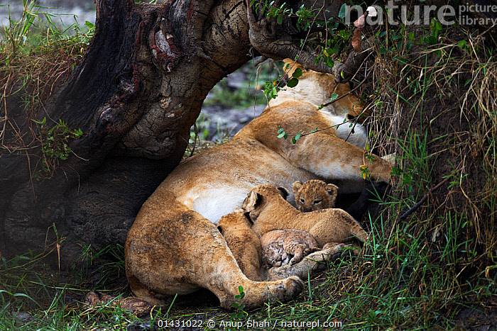 Lioness (Panthera leo) with suckling cubs aged 2-3 months from another mother and her own new born cubs only days old. Masai Mara National Reserve, Kenya, August The body of a dead cub can be seen in the bottom left of the picture.  ,  AFRICA,BABIES,BIG CATS,CARNIVORES,CUBS,DEATH,EAST AFRICA,FAMILIES,FEEDING,FELIDAE,FEMALES,GROUPS,KENYA,LIONS,MAASAI MARA,MAMMALS,MASAAI MARA,MASAI MARA,MOTHER,MOTHER BABY,PARENTAL,RESERVE,SUCKLING,VERTEBRATES,YOUNG  ,  Anup Shah