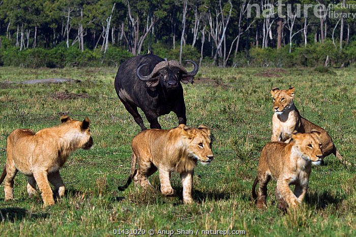 Cape buffalo (Syncerus caffer) chasing a pride of lions (Panthera leo). Masai Mara National Reserve, Kenya, August, AFRICA,AGGRESSION,BEHAVIOUR,BIG-CATS,CARNIVORES,DEFENSIVE,EAST-AFRICA,felidae,GROUPS,Kenya,LIONS,maasai mara,MAMMALS,Masaai Mara,Masai Mara,MIXED-SPECIES,RESERVE,VERTEBRATES high1314,PANTHERA LEO,Animal,Vertebrate,Mammal,Carnivore,Cat,Big cat,Bovid,Buffalo,African buffalo,Lion,Animalia,Animal,Wildlife,Vertebrate,Mammalia,Mammal,Carnivora,Carnivore,Felidae,Cat,Panthera,Big cat,Panthera leo,Artiodactyla,Even-toed ungulates,Bovidae,Bovid,ruminantia,Ruminant,Syncerus,Buffalo,Syncerus caffer,African buffalo,Escape,Escapes,Escaping,Fear,On The Move,Group,Medium Group,Africa,East Africa,Kenya,Plant,Grass Family,Grass,Grasses,Outdoors,Open Air,Outside,Day,Nature,Natural,Natural World,Wild,Woodland,Reserve,Forest,Lion,Mixed species,Maasai Mara,Protected area,Medium group of animals,Moving,Five animals,National Reserve,Cape buffalo, Anup Shah
