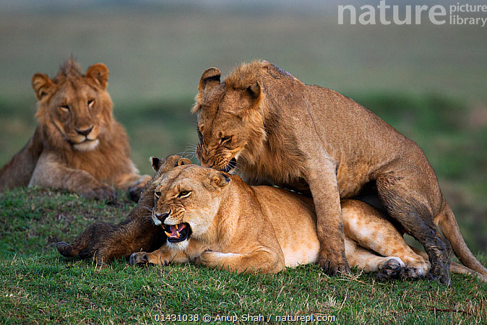 Lion (Panthera leo) male adolescent trying to mate with a female watched by cub aged 2-3 months. Masai Mara National Reserve, Kenya, September  ,  AFRICA,AGGRESSION,BABIES,BIG CATS,CARNIVORES,CUBS,EAST AFRICA,FELIDAE,FEMALES,KENYA,LIONS,MAASAI MARA,MALE FEMALE PAIR,MALES,MAMMALS,MASAAI MARA,MASAI MARA,MATING BEHAVIOUR,REPRODUCTION,RESERVE,VERTEBRATES,YOUNG  ,  Anup Shah