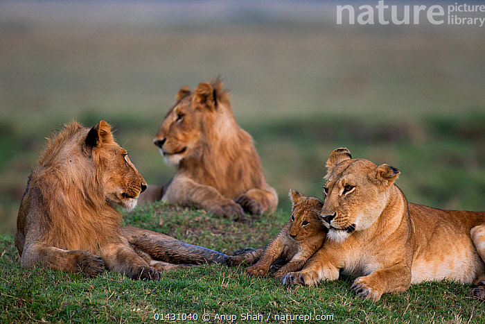 Lion (Panthera leo) adolescent males resting with lioness and cub aged 1-2 months. Masai Mara National Reserve, Kenya, September, AFRICA,BABIES,BIG CATS,CARNIVORES,CUBS,EAST AFRICA,FAMILIES,FELIDAE,FEMALES,GROUPS,KENYA,LIONS,MAASAI MARA,MALES,MAMMALS,MASAAI MARA,MASAI MARA,MOTHER,MOTHER BABY,RESERVE,VERTEBRATES,YOUNG, Anup Shah