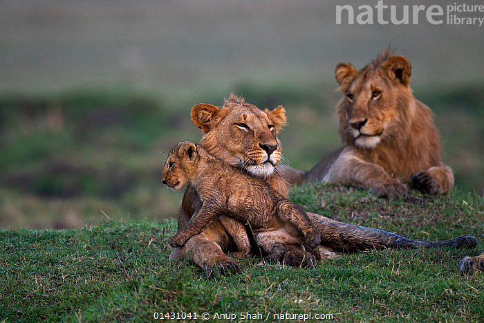 Lion (Panthera leo) adolescent male with cub aged 3-6 months. Masai Mara National Reserve, Kenya, September, AFRICA,BABIES,BIG CATS,CARNIVORES,CUBS,EAST AFRICA,FELIDAE,KENYA,LIONS,MAASAI MARA,MALES,MAMMALS,MASAAI MARA,MASAI MARA,PLAYS,RESERVE,VERTEBRATES,YOUNG, Anup Shah