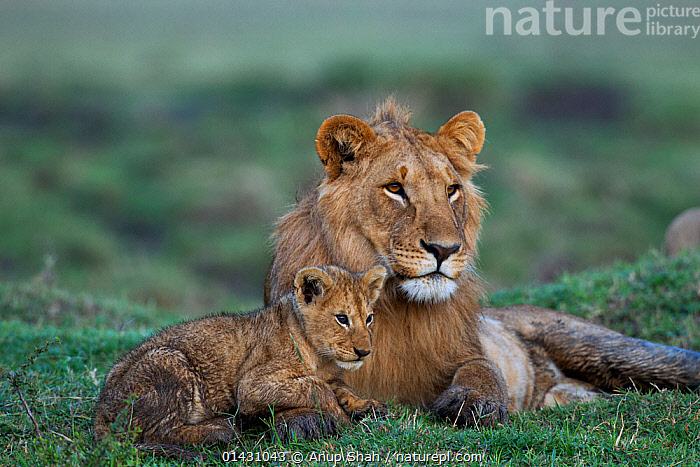 Lion (Panthera leo) adolescent male with cub aged 3-6 months. Masai Mara National Reserve, Kenya, September, AFRICA,BABIES,BIG CATS,CARNIVORES,CUBS,EAST AFRICA,FELIDAE,KENYA,LIONS,MAASAI MARA,MALES,MAMMALS,MASAAI MARA,MASAI MARA,RESERVE,VERTEBRATES,YOUNG, Anup Shah