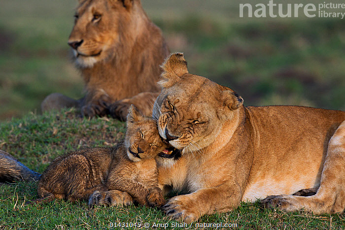 Lioness (Panthera leo) playing with cub aged 4-6 months. Masai Mara National Reserve, Kenya, September, AFRICA,BABIES,BIG CATS,CARNIVORES,CUBS,EAST AFRICA,FAMILIES,FELIDAE,FEMALES,KENYA,LIONS,MAASAI MARA,MAMMALS,MASAAI MARA,MASAI MARA,MOTHER,MOTHER BABY,PLAYS,RESERVE,VERTEBRATES,YOUNG, Anup Shah