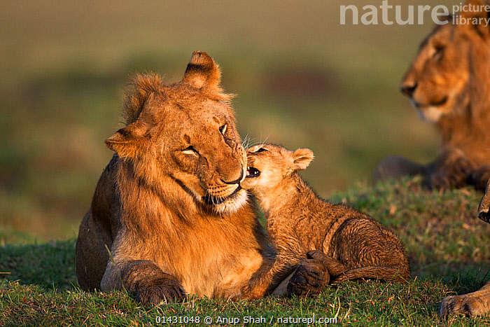 Lion (Panthera leo) sub-adult male playing with cub aged 4-6 months. Masai Mara National Reserve, Kenya, September, AFRICA,BABIES,BIG CATS,CARNIVORES,CUBS,EAST AFRICA,FELIDAE,KENYA,LIONS,MAASAI MARA,MALES,MAMMALS,MASAAI MARA,MASAI MARA,PLAYS,RESERVE,VERTEBRATES,YOUNG, Anup Shah