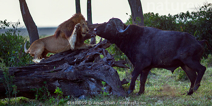 Male lion (Panthera leo) in confrontation with Cape buffalo (Syncerus caffer). Masai Mara National Reserve, Kenya, July, AFRICA,AGGRESSION,ARTIODACTYLA,BEHAVIOUR,BIG CATS,BOVIDS,BUFFALOS,CARNIVORES,EAST AFRICA,FELIDAE,INTERACTION,KENYA,LIONS,MAASAI MARA,MALES,MAMMALS,MASAAI MARA,MASAI MARA,MIXED SPECIES,RESERVE,VERTEBRATES, Anup Shah