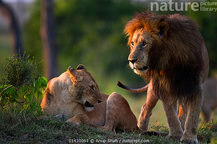 Lion (Panthera leo) (Panthera leo) male tring to court a lioness. Masai Mara National Reserve, Kenya, July, AFRICA,BIG CATS,CARNIVORES,COURTSHIP,EAST AFRICA,FELIDAE,FEMALES,KENYA,LIONS,MAASAI MARA,MALE FEMALE PAIR,MALES,MAMMALS,MASAAI MARA,MASAI MARA,MATING BEHAVIOUR,RESERVE,VERTEBRATES, Anup Shah