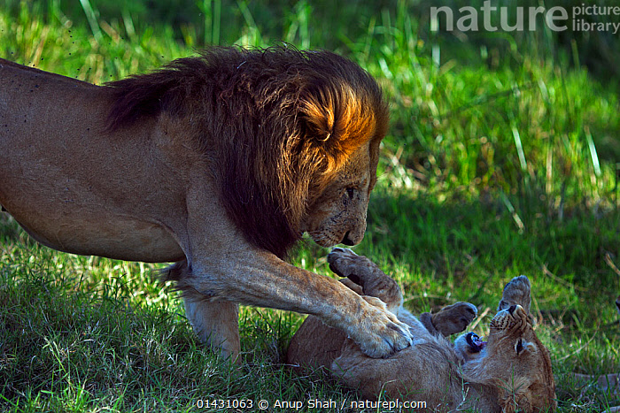 Lioness (Panthera leo) showing reluctance to mate with adult male. Masai Mara National Reserve, Kenya, July, AFRICA,BIG CATS,CARNIVORES,COURTSHIP,EAST AFRICA,FELIDAE,FEMALES,KENYA,LIONS,MAASAI MARA,MALE FEMALE PAIR,MALES,MAMMALS,MASAAI MARA,MASAI MARA,MATING BEHAVIOUR,RESERVE,VERTEBRATES, Anup Shah