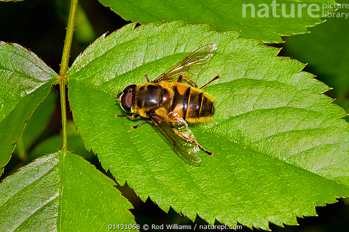 Hoverfly (Myathropa florea) viewed from above, Lewisham, London, April, DIPTERA,ENGLAND,EUROPE,HOVER FLIES,INSECTS,INVERTEBRATES,LONDON,UK,United Kingdom, Rod Williams