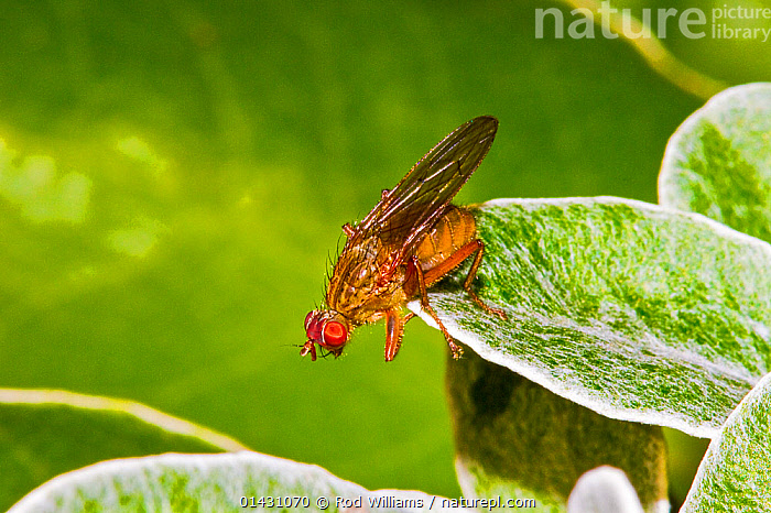 Dung Fly (Scathophaga Sp) Lewisham, London, November  ,  ARTHROPODS,DIPTERA,DUNG FLIES,ENGLAND,EUROPE,FLIES,INSECTS,INVERTEBRATES,LONDON,UK,United Kingdom  ,  Rod Williams