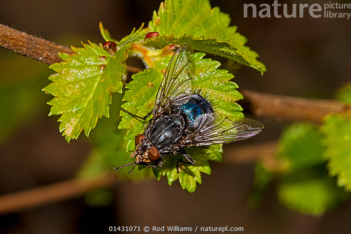 Bluebottle (Calliphora vomitoria) Lewisham, London, April, ARTHROPODS,DIPTERA,ENGLAND,EUROPE,FLIES,INSECTS,INVERTEBRATES,LONDON,UK,United Kingdom, Rod Williams