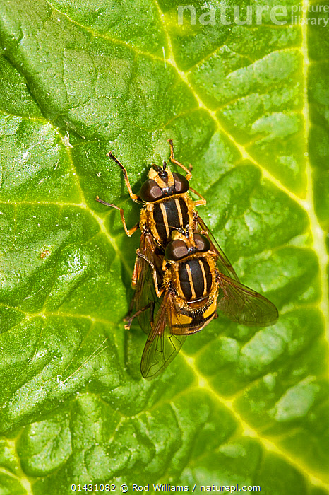 Hoverflies (Helophilus pendulus) mating on rhubarb leaf, Lewisham, London,, DIPTERA,ENGLAND,EUROPE,FLIES,HOVER FLIES,INSECTS,INVERTEBRATES,LONDON,MALE FEMALE PAIR,MATING BEHAVIOUR,REPRODUCTION,SUNFLY,UK,VERTICAL,United Kingdom, Rod Williams