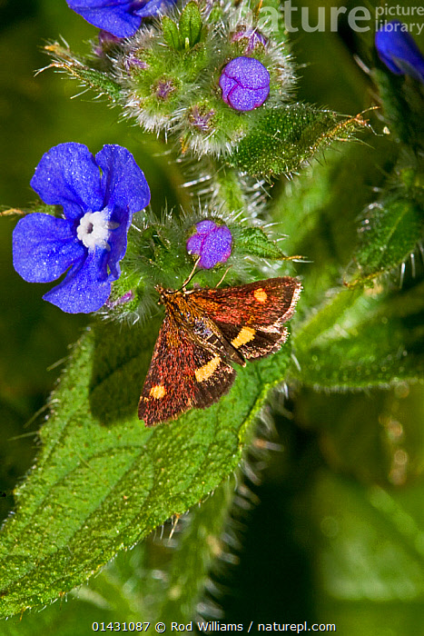 Mint Micro-moth (Pyrausta aurata) on Green Alkanet (Pentaglottis sempervirens) Lewisham, London, May, BLUE,ENGLAND,EUROPE,FLOWERS,INSECTS,INVERTEBRATES,LEPIDOPTERA,LONDON,MOTHS,UK,VERTICAL,United Kingdom, Rod Williams