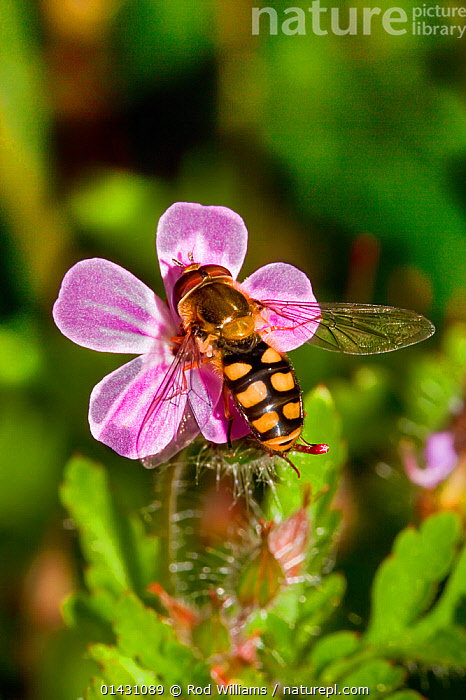Hoverfly (Eupeodes luniger) feeding on Herb-robert (Geranium robertianum) Lewisham, London,, DIPTERA,ENGLAND,EUROPE,FEEDING,FLOWERS,HOVERFLIES,HOVER FLIES,HOVER FLY,INSECTS,INVERTEBRATES,LONDON,PINK,POLLINATION,SYRPHIDAE,UK,United Kingdom, Rod Williams
