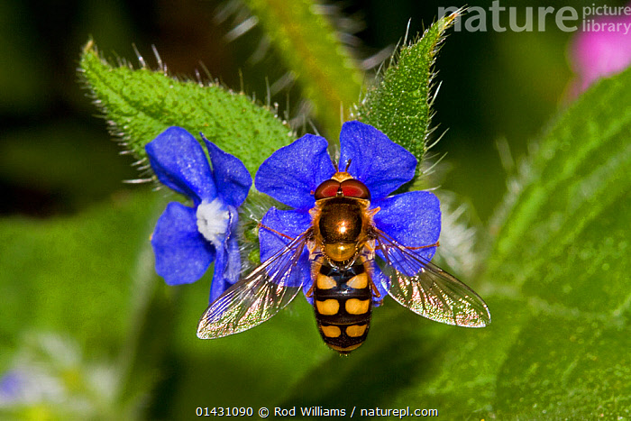 Hoverfly (Eupeodes luniger) feeding on Green Alkanet (Pentaglottis sempervirens) Lewisham, London, May  ,  BLUE,DIPTERA,ENGLAND,EUROPE,FEEDING,FLOWERS,HOVERFLIES,HOVER FLIES,HOVER FLY,INSECTS,INVERTEBRATES,LONDON,POLLINATION,SYRPHIDAE,UK,United Kingdom  ,  Rod Williams