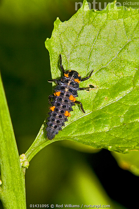 7-Spot Ladybird (Coccinella 7-punctata) larva Lewisham, London, June, BEETLES,COLEOPTERA,ENGLAND,EUROPE,INSECTS,INVERTEBRATES,LADYBIRDS,LARVAE,LONDON,UK,VERTICAL,YOUNG,United Kingdom, Rod Williams