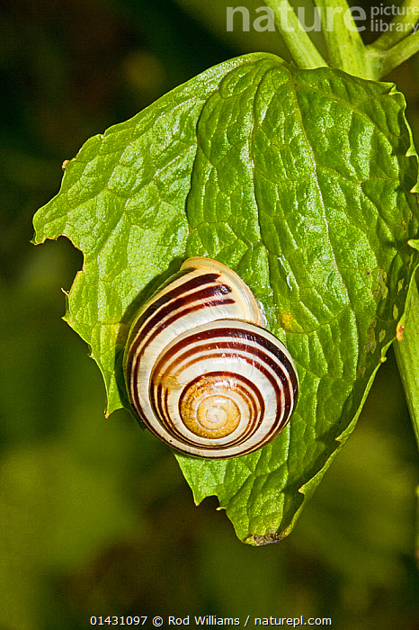 White-lipped Snail (Cepaea hortensis) Lewisham, London, June, ENGLAND,EUROPE,GASTROPODS,INVERTEBRATES,LONDON,MOLLUSCS,SNAILS,UK,VERTICAL,United Kingdom, Rod Williams
