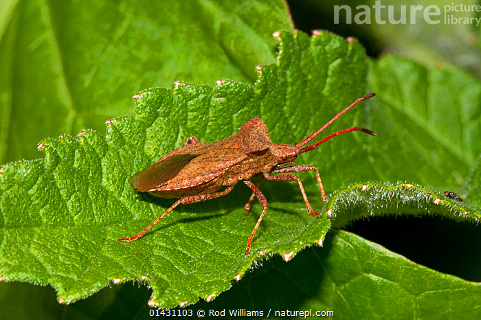 Dock Bug (Coreus marginatus) Lewisham, London, June, BUGS,COREIDAE,ENGLAND,EUROPE,HEMIPTERA,INSECTS,INVERTEBRATES,LONDON,SQUASH BUGS,UK,United Kingdom, Rod Williams