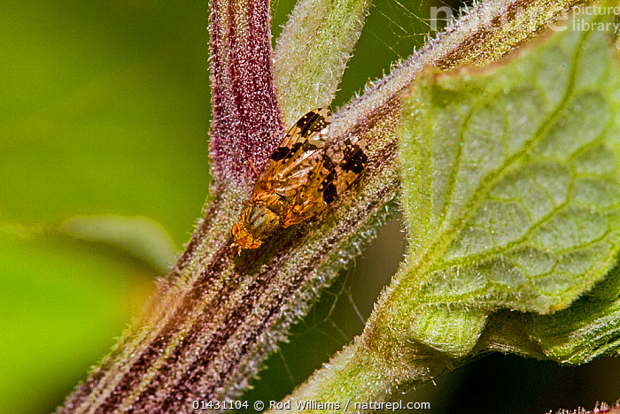 Variegated Fruit Fly (Tephritis bardanae) Lewisham, London, June, ARTHROPODS,DIPTERA,ENGLAND,EUROPE,FLIES,INSECTS,INVERTEBRATES,LONDON,UK,United Kingdom, Rod Williams
